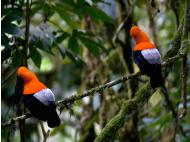 Scientists Observe Courtship Ritual of Peru's National Bird